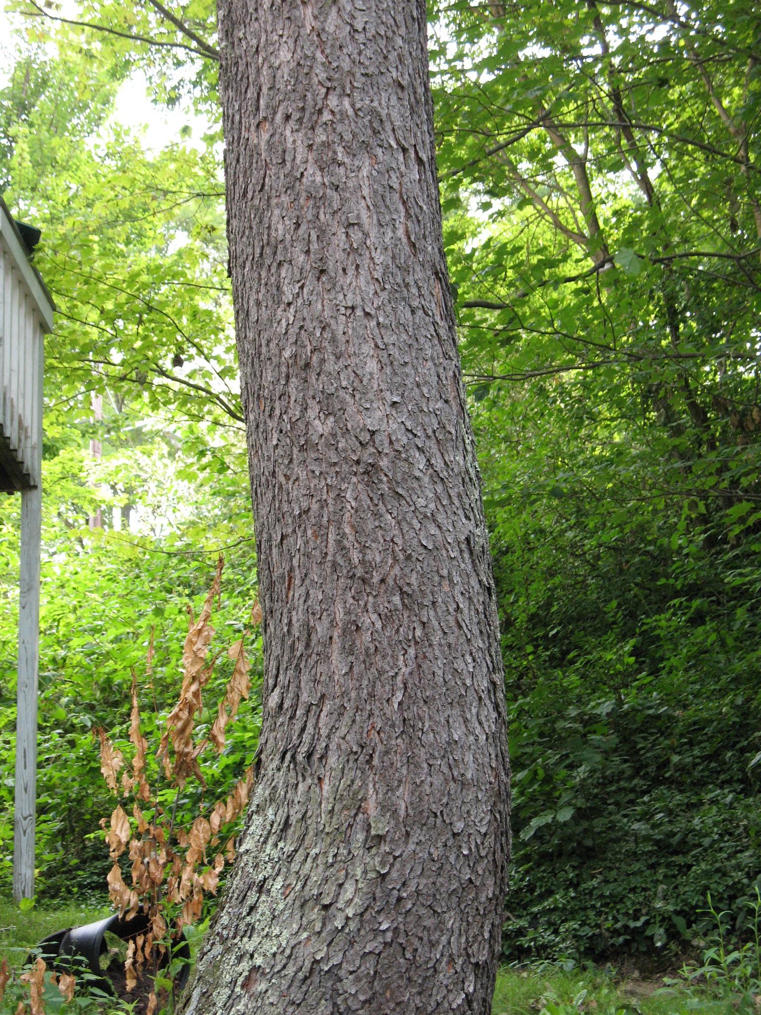 Prunus serotina – Wi... Prunus Serotina Bark