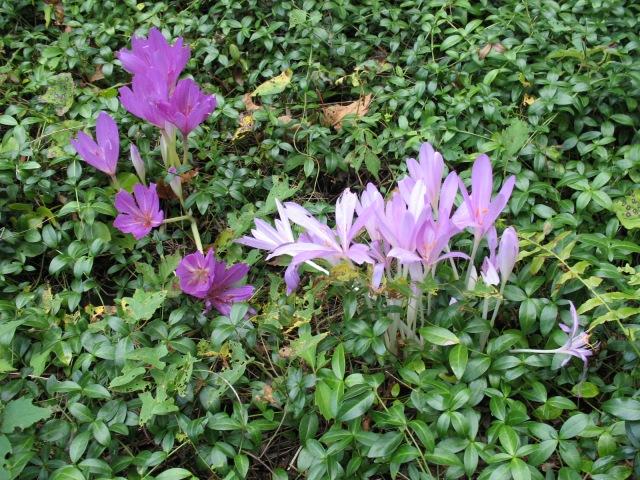 Colchicum autumnale Nancy Lindsay