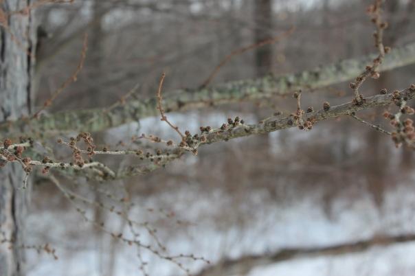 Larix laricina - twig