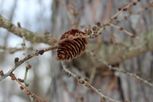 Larix Laricina - seed