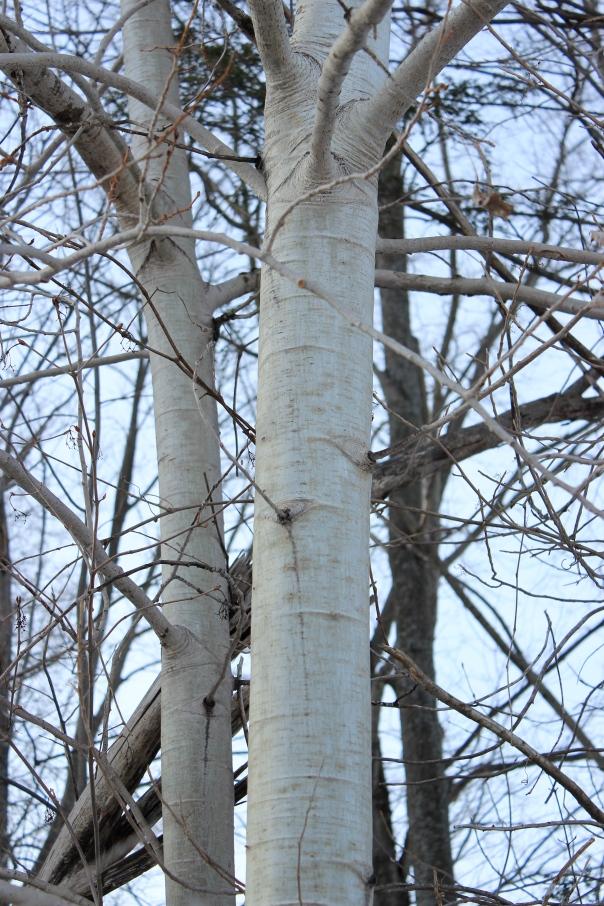 Populus tremuloides - bark II