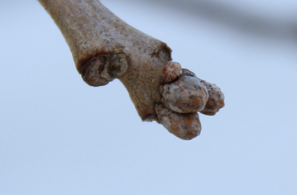 Quercus bicolor - Swamp White Oak - bud