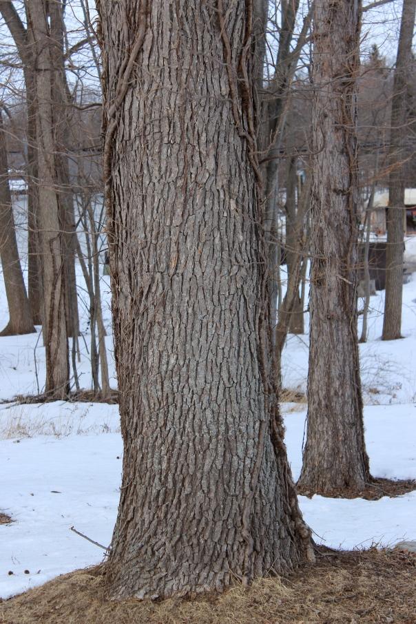 Quercus bicolor - bark