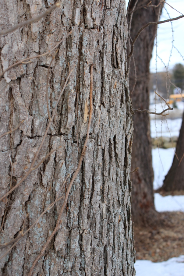 Quercus bicolor bark II