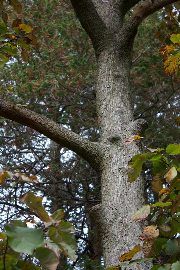 Magnolia acuminata var. subcordata